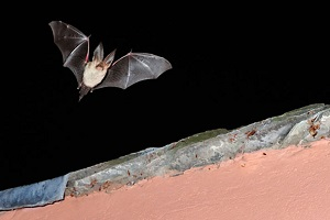 Brown long-eared bat by Laurie Campbell