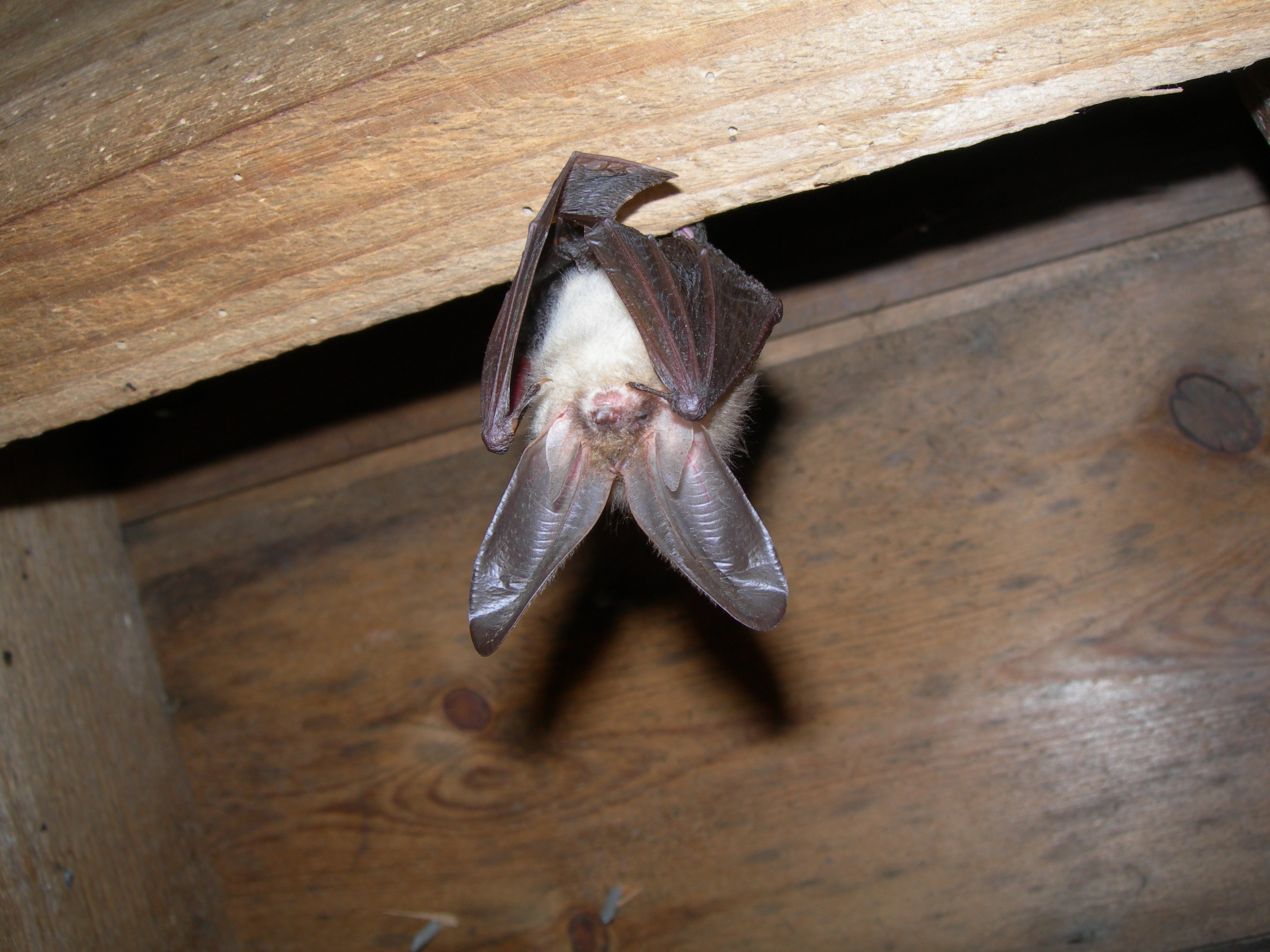 Brown long-eared bat in roost copyright Echoes Ecology Ltd 2016 -  BatAbility Courses & Tuition