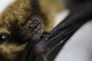 Soprano pipistrelle by Ross MIddleton